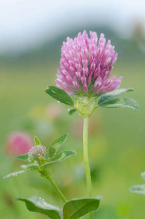 red clover: macro of red clover flower