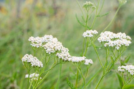 yarrow: closeup to common yarrow herb flowers