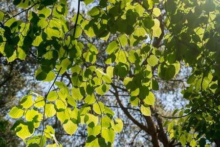 spring linden leaves  slective focus Stock Photo