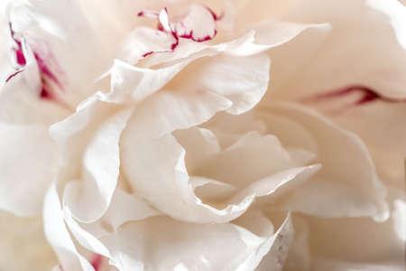 blanco peonía flor macro enfoque selectivo