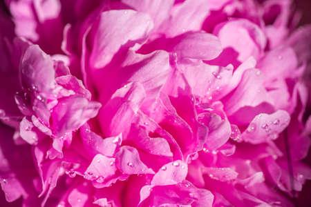 foco selectivo macro de la flor rosada de la peonía