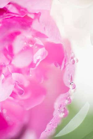 Flor de peônia rosa foco seletivo macro Foto de archivo