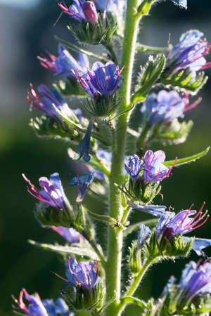 closeup to blue wildflower vipers bugloss