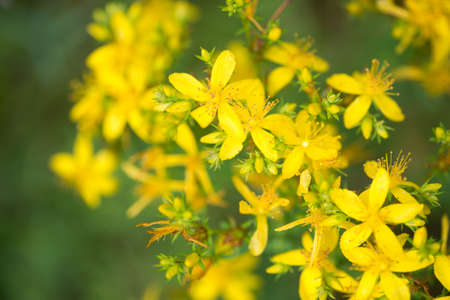 closeup to St. Johns wort flowers selective focus