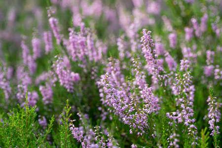violet heather flowers closeup selective focus