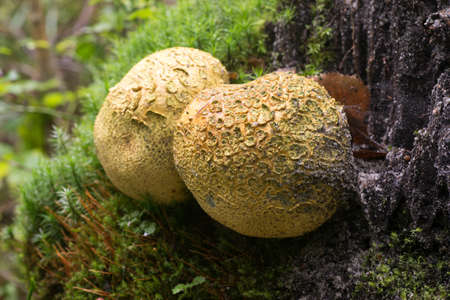 unedible common eartball mushroom closeup 版權商用圖片
