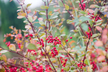 barbary: Red ripe barberry berries on twig closeup