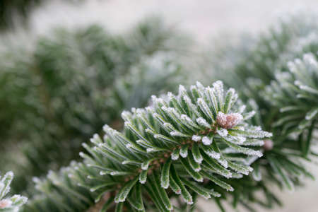 winter spruce twig under hoarfrost macro