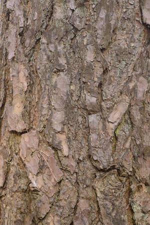 old pine tree bark texture background closeup
