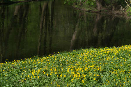 blooming meadow with yellow flowers by riverside Stock Photo
