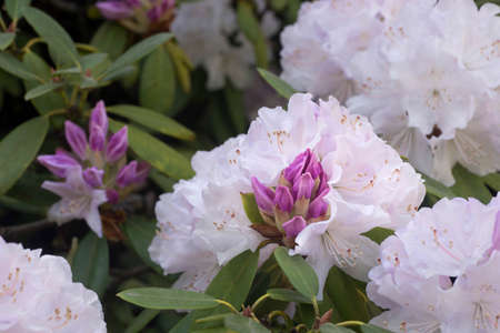 pink rhododendron Balalaica flowers in bloom macro selective focus