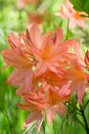 orange rhododendron molle subsp japonicumflowers in bloom macro selective focus 版權商用圖片
