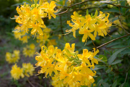 yellow rhododendron flowers in bloom macro selective focus