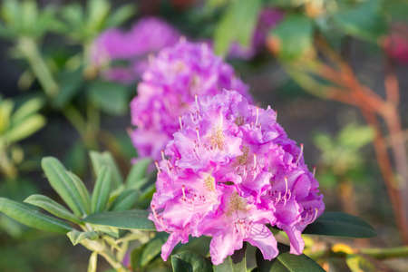 lila color rhododendron flower in bloom macro
