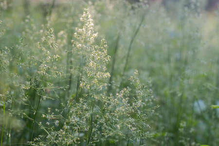 blooming grass in summer meadow macro selective focus Stock Photo