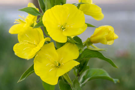 evening primrose, suncups, and sundrops - yellow flowers macro selective focus Stock fotó