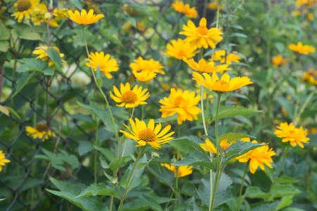 jerusalem artichoke - helianthus tuberosus yellow flowers Stock Photo - 105202003