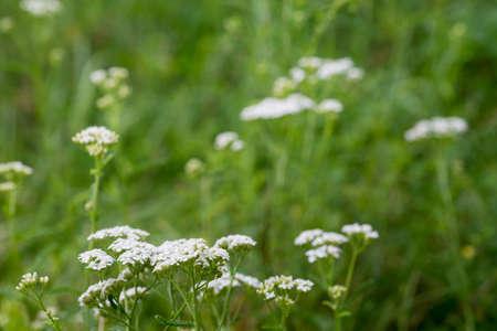 Achillea millefolium, yarrow, common yarrow flowers macro selective focus