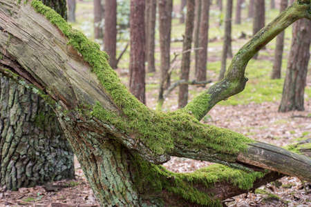 old fallen tree covered with moss in forest