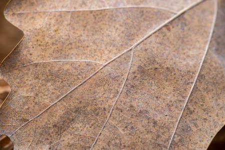 dried brown oak leaf macro selective focus