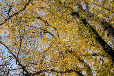 autumn poplar tree branches with yellow leaves on blue sky
