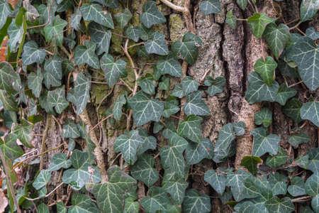 ivy leaves on tree bark