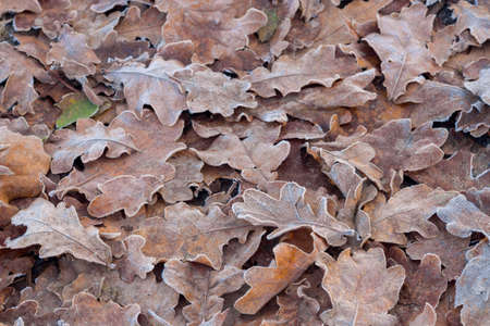 dried leaves covered with hoarfrost on ground macro