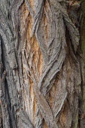 robinia tree bark tecture bakground macro Reklamní fotografie