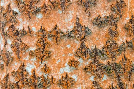 russet trentepohlia  a genus of filamentous chlorophyte green algae on willow tree trunk