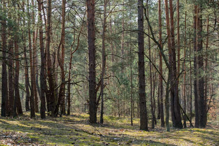 young pine forest on sunny day