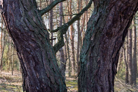 two pine tree trunks in forest Stock Photo