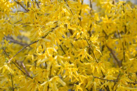 forsythia flowers on sunny day Stock Photo