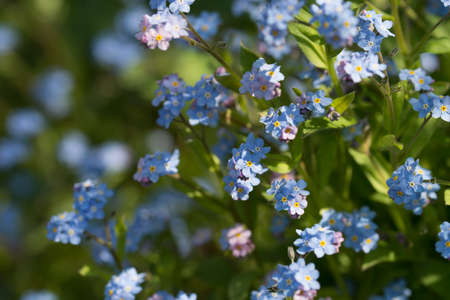 forget-me-not blue spring flowers flowers macro selective focus