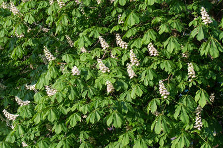 horse chestnut tree with spring white flowers on sunny day 写真素材 - 121975410