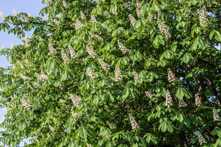horse chestnut tree with spring white flowers on sunny day 写真素材 - 121975412