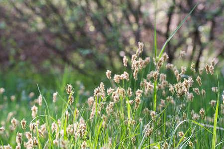 flowering grass in wetland macro selective focus Banque d'images - 121975429