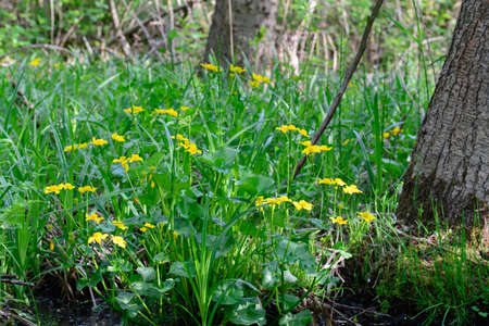 caltha palustris, marsh-marigold, kingcup yellow flowers on sunny day