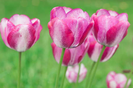 pink and white tulips in garden closeup Banque d'images