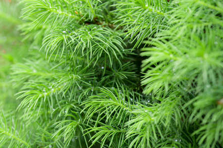 green spring juniper twigs macro
