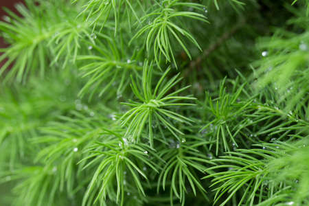 spring juniper twigs macro 写真素材