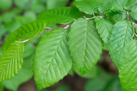 green spring hornbeam leaves macro Reklamní fotografie