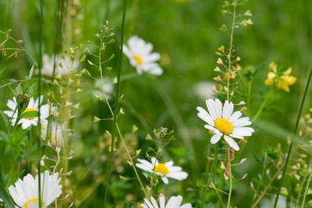 daisy white flowers macro in meadow