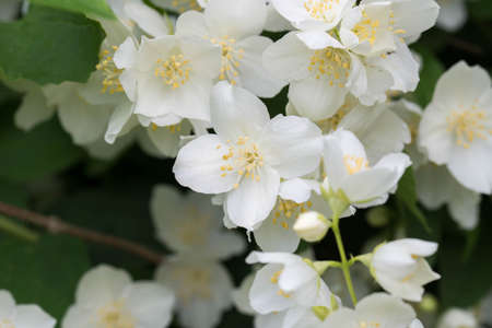 Philadelphus coronarius (sweet mock-orange, English dogwood) white spring flowers