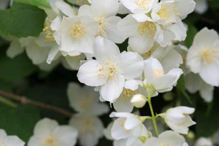 Philadelphus coronarius (sweet mock-orange, English dogwood) white spring flowers Stock Photo