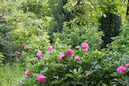 pink peonies in cottage garden on sunny day