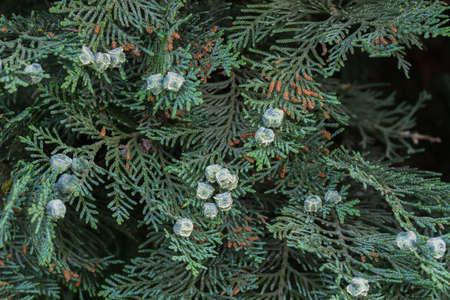 thuja leaves and immature cones macro