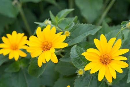 Jerusalem artichoke, sunroot, sunchoke yellow flowers closeup
