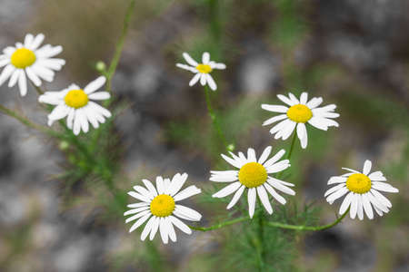 chamomile white flowers closeup in meadow