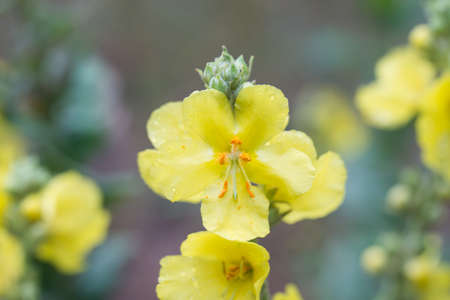 mullein, velvet plant yellow flowers closeup 版權商用圖片