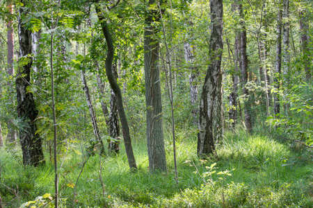 summer wetland forest in Poland Stock Photo